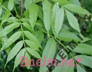 درمان رماتيسم با گياهان دارويي