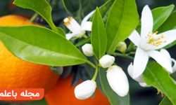"""خواص دارویی و درمانی """"بهار نارنج"""" طبع بهار نارنج خواص عرق بهارنارنج"""
