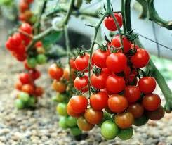 تعبیر خواب | تعبیر دیدن یا خوردن گوجه در خواب