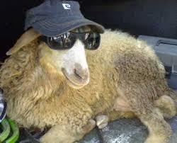 تعبیر خواب   تعبیر دیدن گوسفند در خواب