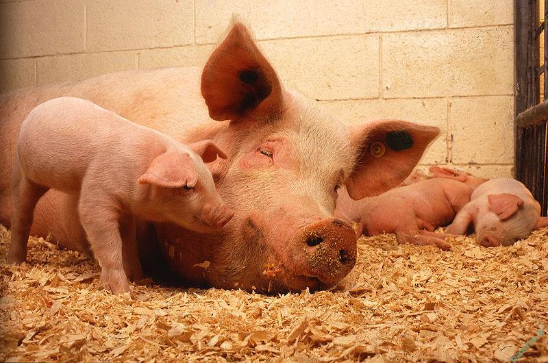 تعبیر خواب | تعبیر دیدن یا خوردن گوشت خوک در خواب