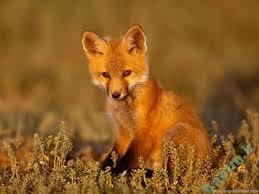 تعبیر خواب   تعبیر دیدن روباه در خواب