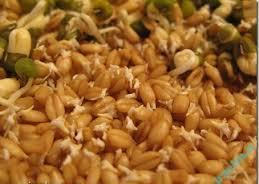 خواص مواد غذایی | نحوه مصرف و خواص جوانه گندم
