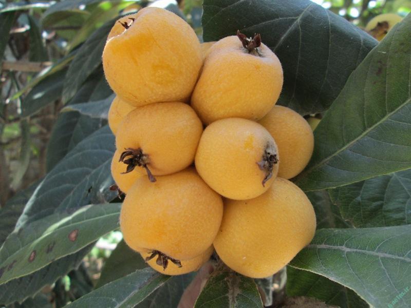 خواص مواد غذایی | درمان بیماریها با خوردن میوه ازگیل برای