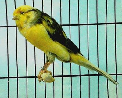 canary12.jpg
