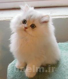 گربه | روش ها و نكات اصولي براي نگهداري از گربه خانگي
