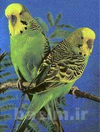 پرندگان | مرغ عشق و اصول نگهداري از اين پرنده زيبا