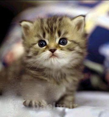 گربه | آیا موی گربه باعث نازایی و عقیمی میشود ؟