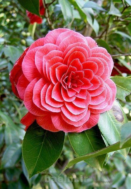 عکس هایی از گل های بسیار زیبا و شگفت انگیز(حیرت آور)