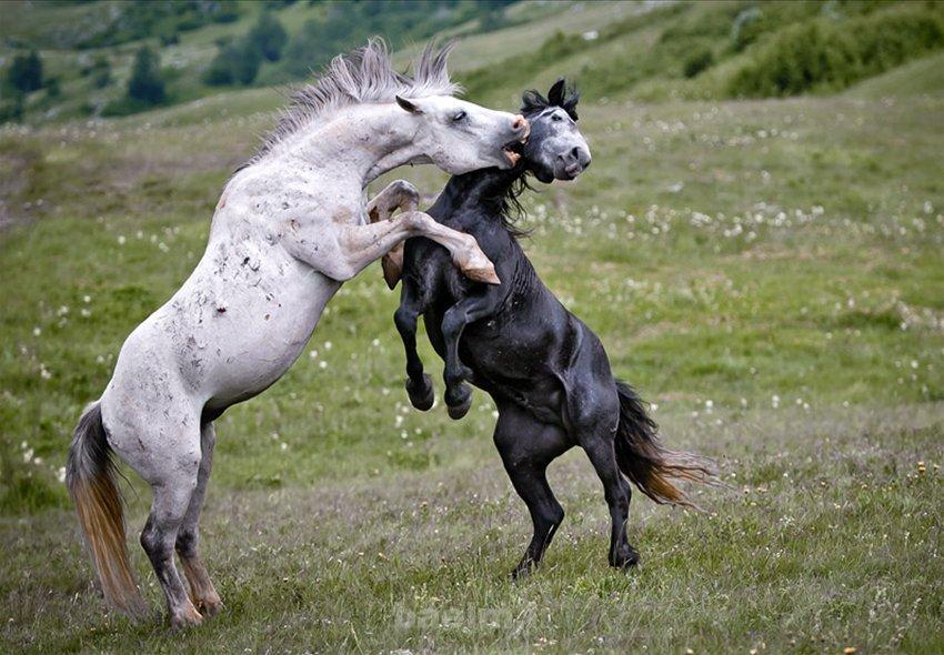 دیدنیها | عکس هایی از اسب های وحشی اما زیبا