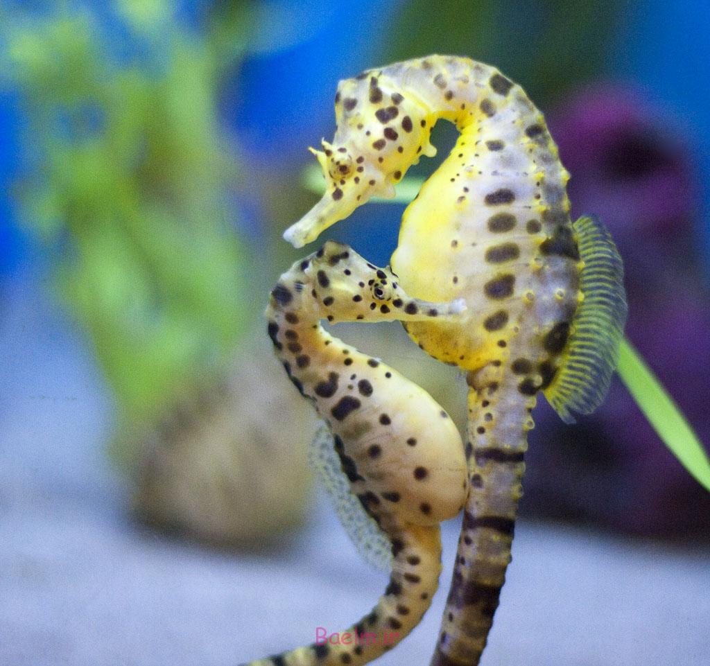 عکسهای بسیار زیبا و شگفت انگیز از اسب دریایی