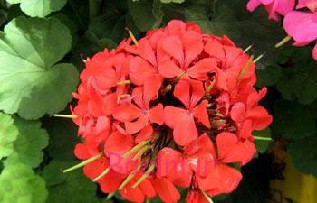 گلهای آپارتمانی,نگهداری از گلها در فصل سرما,گل شمعدانی