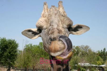 Funny Giraffe-Look at its tongue!