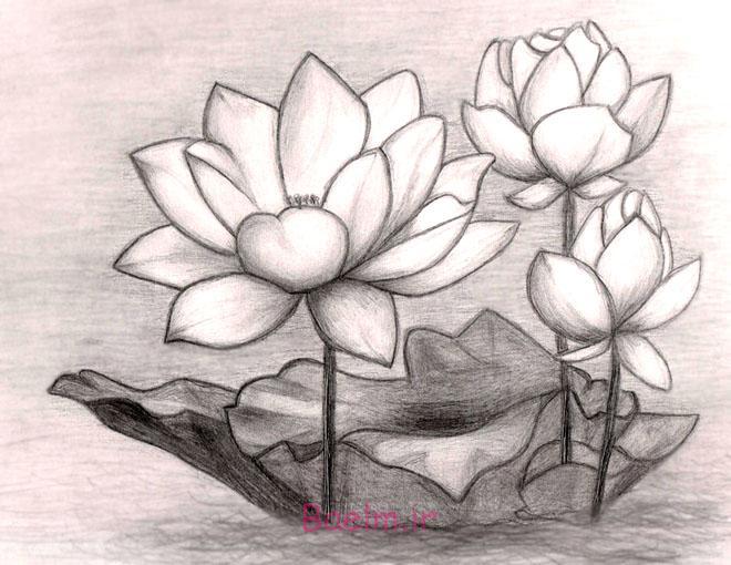 flower drawings lotus