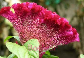 تاجخروس, گیاه تاجخروس, خواص گیاه تاجخروس, خاصیت تاجخروس, خواص درمانی تاجخروس