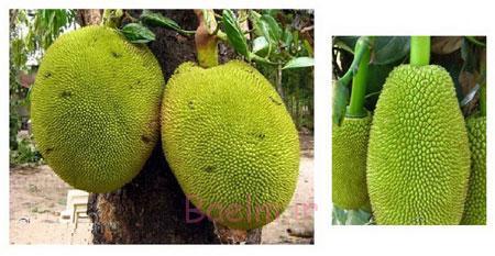 جک فروت میوه ای برای درمان انواع بیماری و سرشار از ویتامین | خواص میوه ها