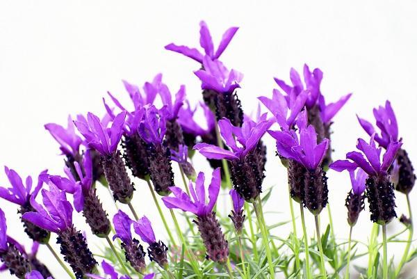 بوی عطر اسطوخودوس باعث جلب اعتماد دیگران میشود