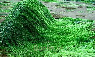 خاصیت گیاه اسپرولینا,خواص گیاه اسپرولینا