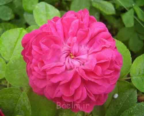 خواص گلاب در زیبایی صورت