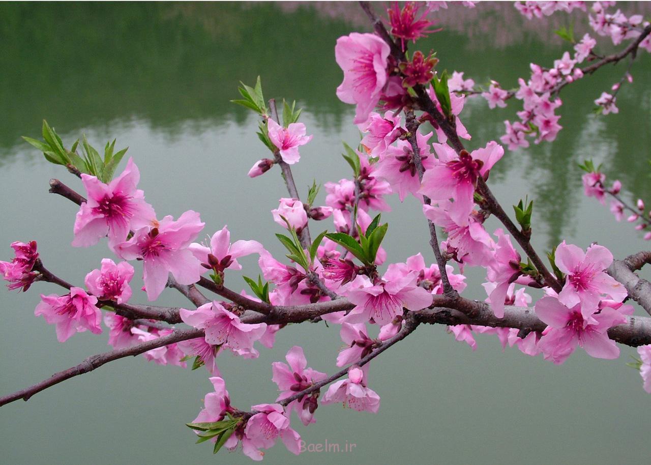شکوفه های گیلاس گل قلاب دوزی freePattern-wonderfuldiy1