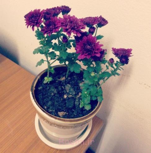 chrysanthemum_morifolium.JPG