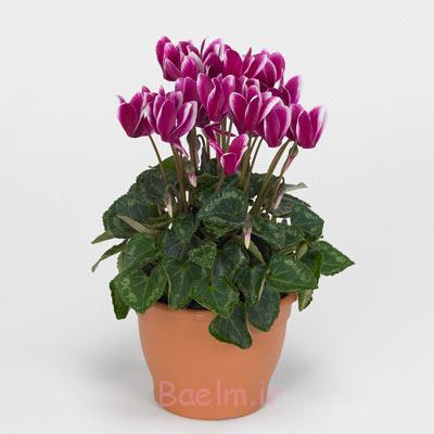 یاسمن ستاره ای,سیکلمن پرسیکوم, گل های خانگی معطر