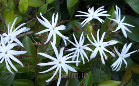 یاسمن ستاره ای,گلهای آپارتمانی, گل های خانگی معطر