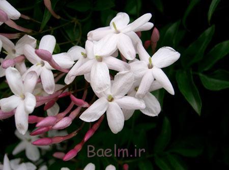 گیاهان خانگی معطر,گلهای آپارتمانی, گل های خانگی معطر