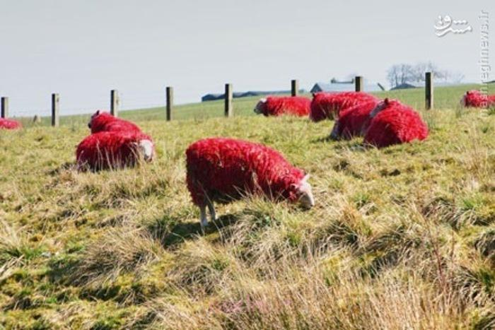 اخبارگوناگون,خبرهای گوناگون,گوسفندان قرمز