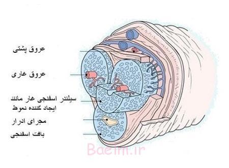 عوارض شکستگی آلت تناسلی مردان,مکانیسم شکستگی آلت تناسلی مردان,آناتومی آلت تناسلی مردان