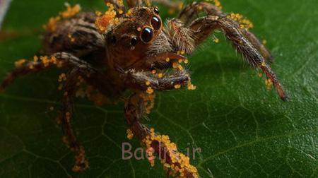 تصاویر عنکبوت های عجیب, آشنایی با گونه های عجیب عنکبوت