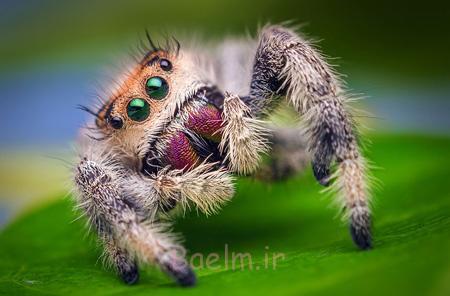 عنکبوت های عجیب دنیا,تصاویر عجیب ترین عنکبوت ها