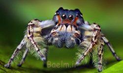 آشنایی با گونه های عجیب انواع عنکبوت در جهان + تصاویر جالب عنکبوت