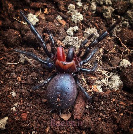 تصاویر عجیب ترین عنکبوت ها,وحشتناک ترین عنکبوت ها