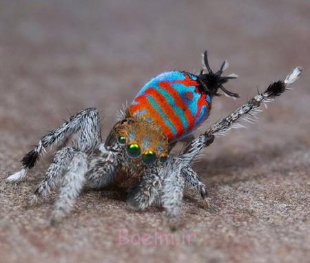آشنایی با انواع عنکبوت,عنکبوت های عجیب دنیا