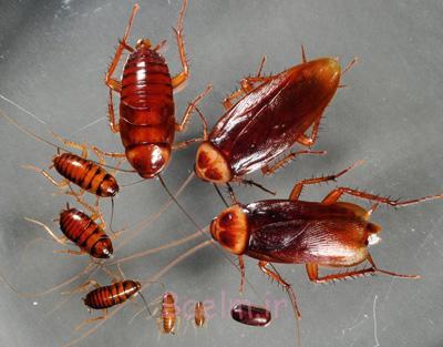 راههای از بین بردن سوسک ها,از بین بردن حشرات موذی