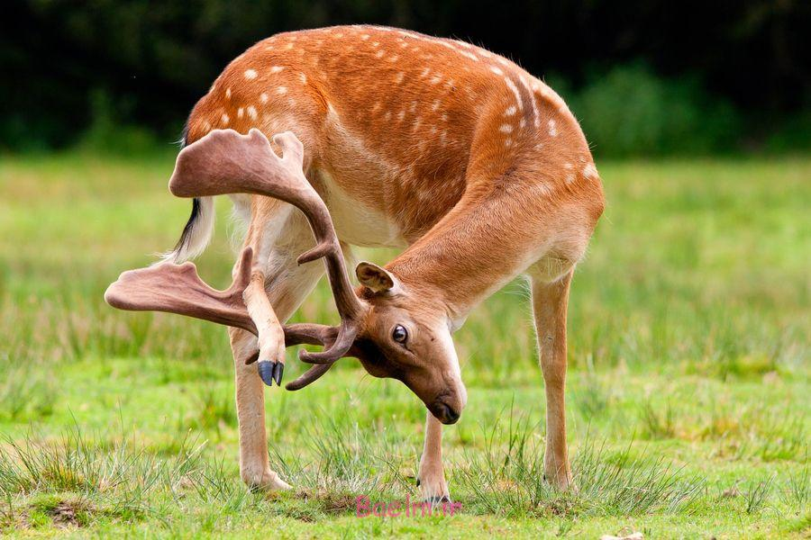 deer_scratching_head_itch-other