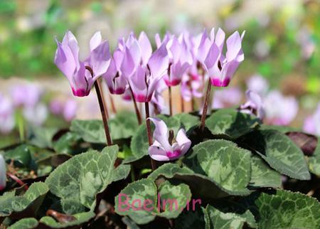 گیاهان مضر برای حیوانات,آشنایی با مضرترین گیاهان