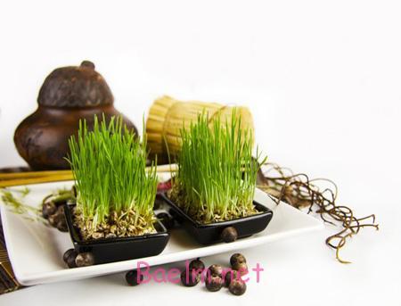 آموزش سبز کردن سبزه عید,کاشت سبزه عید