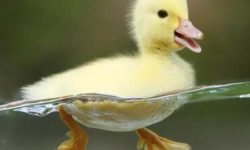 راهنمای نگهداری از اردک در خانه - تغذیه اردک