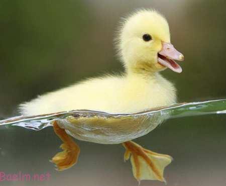 نگهداری از اردک,آموزش نگهداری از اردک