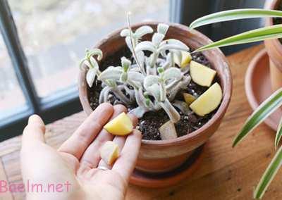 روش های از بین بردن پشه گلدان, علت آمدن پشه گل ها