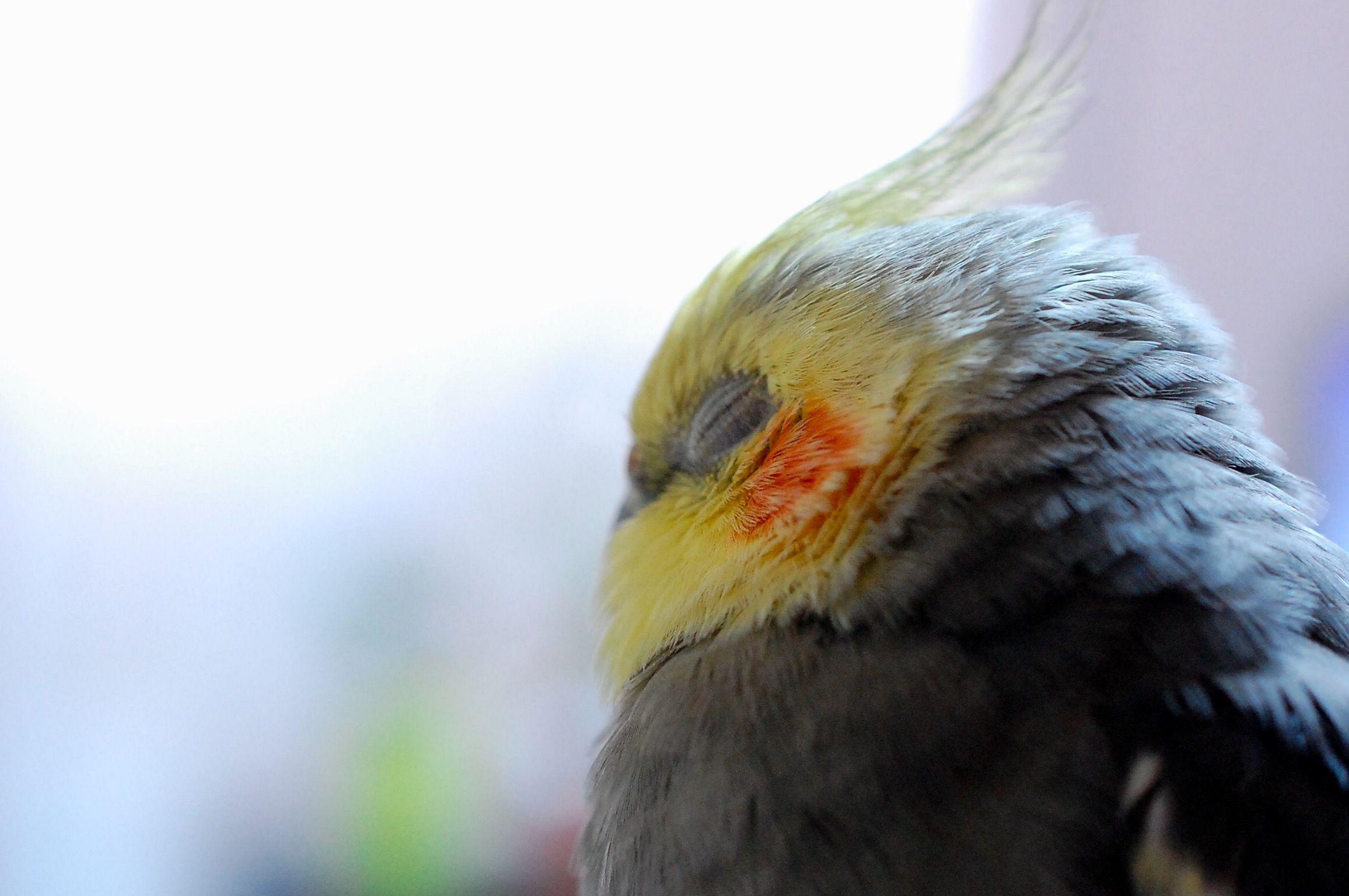 چرت زدن و خوابیدن بیش از حد پرنده نشانه بیماری عروس هلندی است