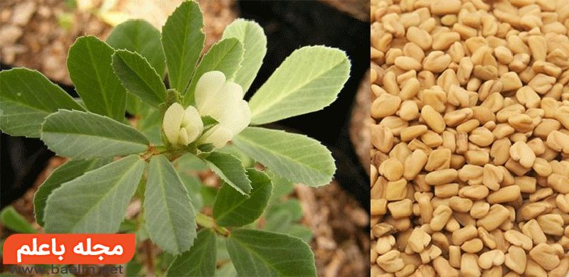 شنبلیله و خواص دارویی و درمانی، خواص دارویی و مضرات شنبلیله، شنبلیله از نظر طب سنتی و گیاهی