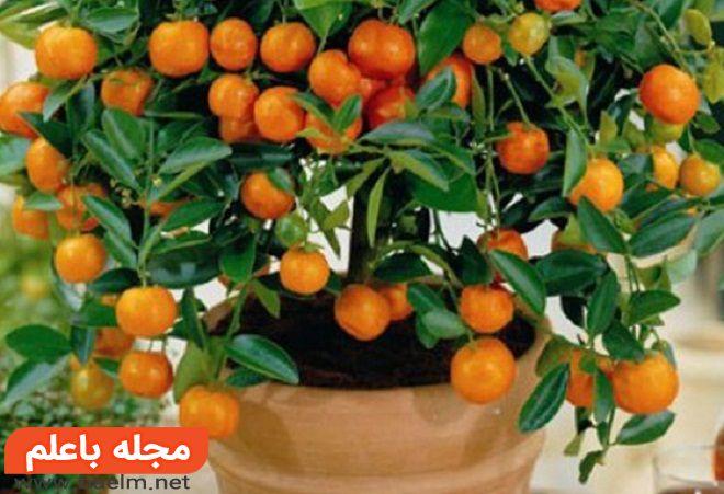 کاشت درخت نارنگی,خواص نارنگی