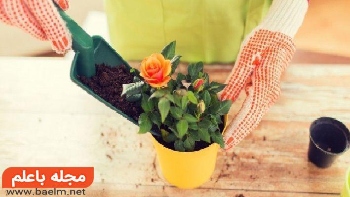 کاشت و پرورش گل رز,مراقبت از گل رز در باغچه منزل,نگهداری از گل رز