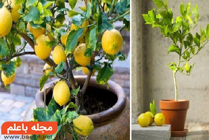 پرورش درخت لیمو,کاشت هسته لیمو,خواص لیمو