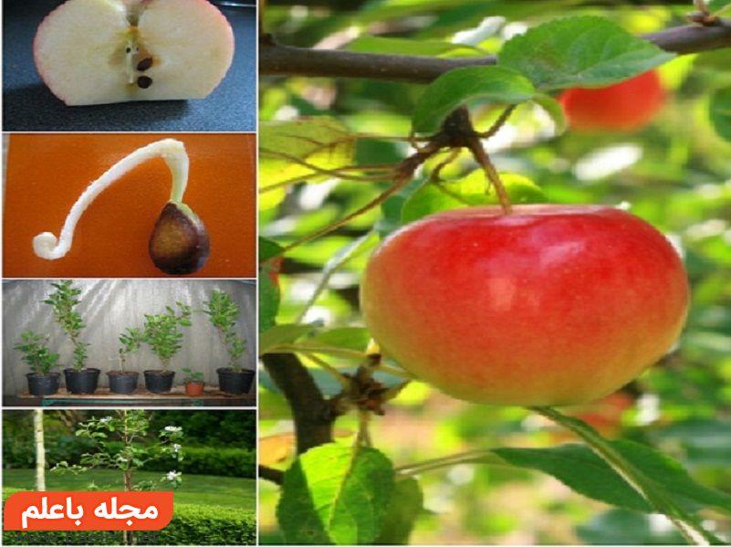 روش کاشت سیب در خانه,خواص سیب ترش,فواید سیب,خواص دارویی سیب