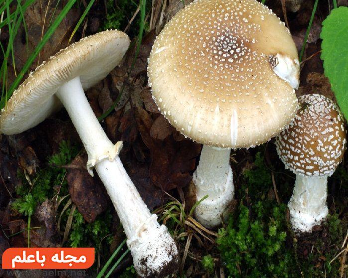 قارچهای آگاریک (Agarics),مسمومیت با قارچ های سمی
