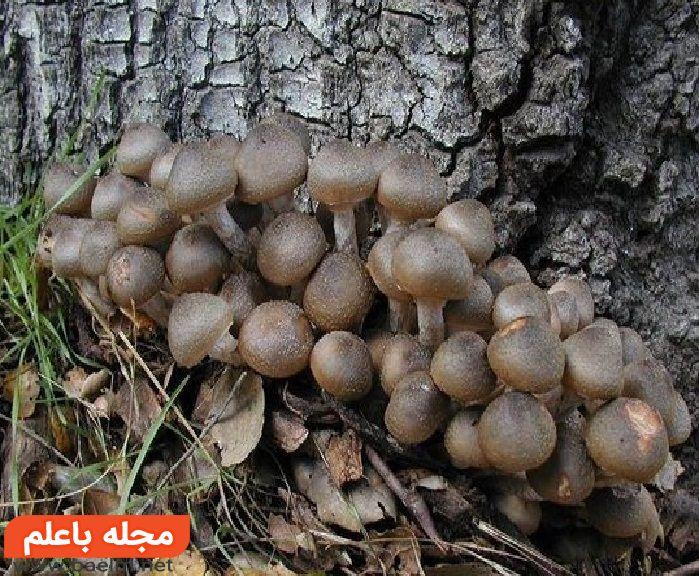 قارچ های کوچک قهوهای (Little Brown Mushrooms),مسمومیت با قارچ های سمی